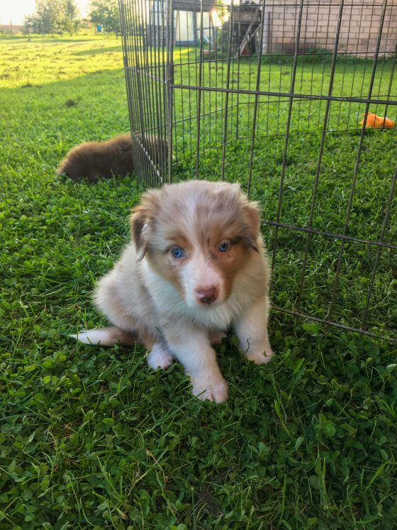 getting a puppy